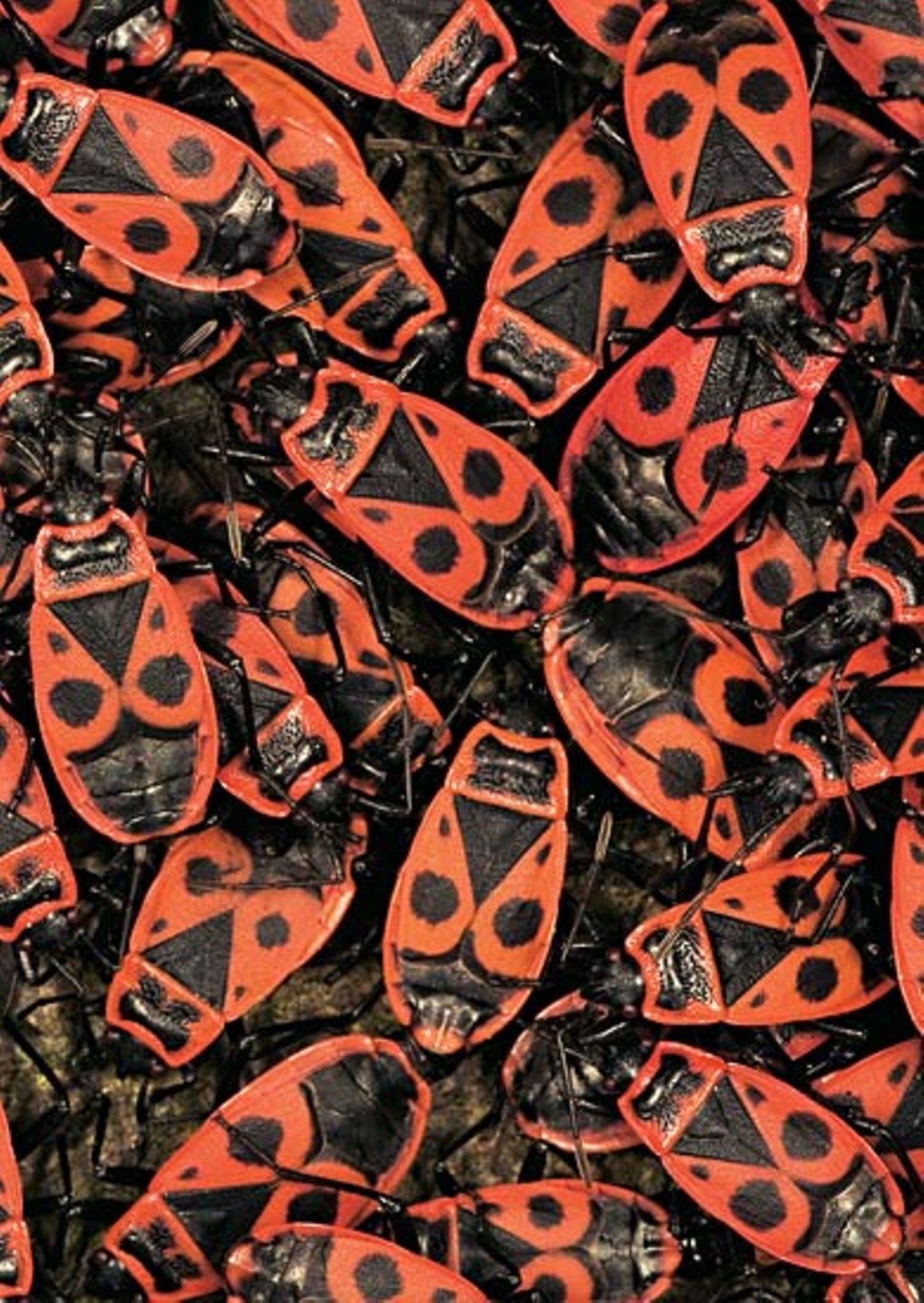 Heteroptera: Sie mögen's gern gesellig: Die schwarz-rot gefärbten Feuerwanzen drängen sich oft in dichten Haufen zusammen, um die Wirkung ihrer Signalfarbe zu verstärken