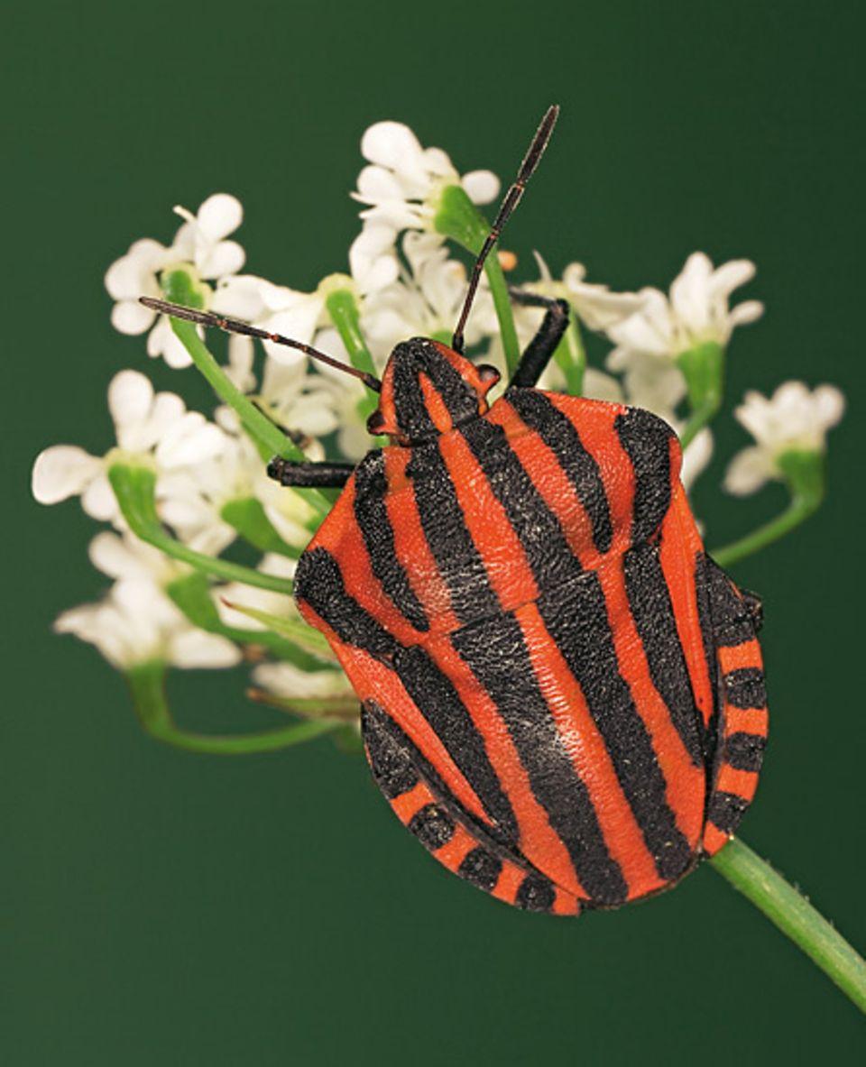 Heteroptera: Auch in Deutschland heimisch: Die auffälligen Streifenwanzen werden nur rund einen Zentimeter lang