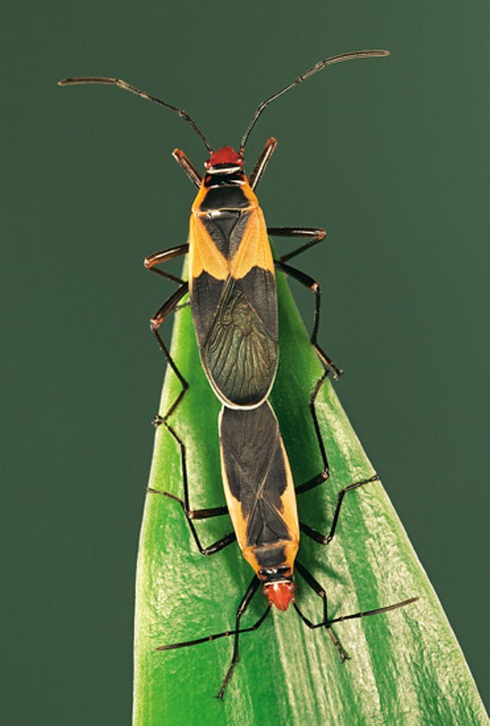 Heteroptera: Die Paarung läuft bei den Wanzen sehr unterschiedlich ab: Bei einigen Arten locken die Männchen mit Duftwolken, bei anderen springen sie ohne Vorwarnung auf die Weibchen