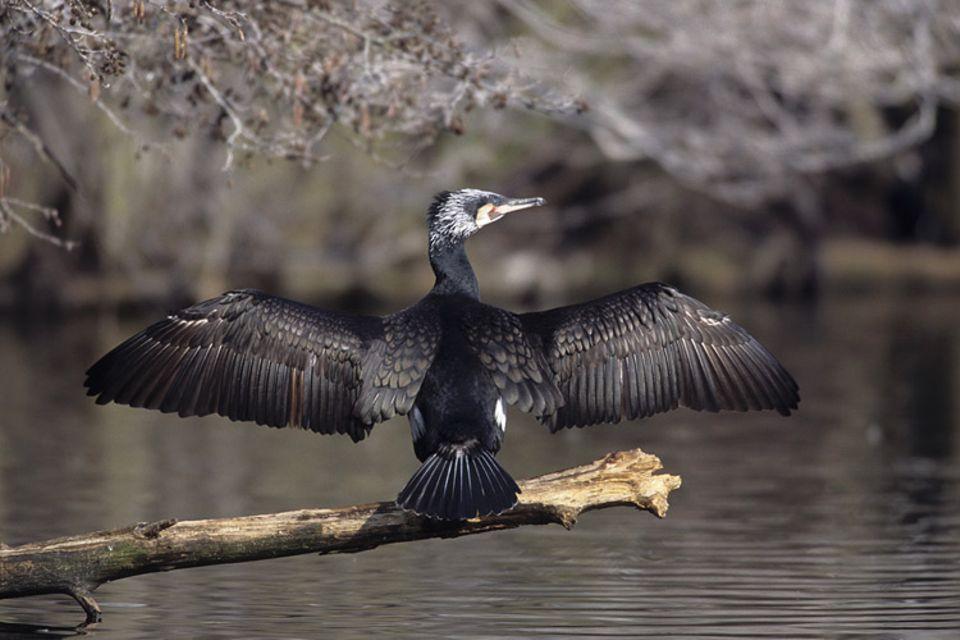 Das Gefieder der Kormorane ist nur teilweise wasserabweisend. Nach jedem Tauchgang muss der Vogel seine Schwingen im Wind trocknen