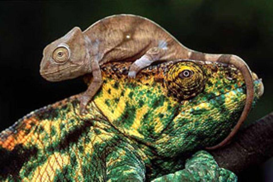 Echsen: Gefährliches Spiel: Die Chamäleons der Art Calumna pasonii parsonii fressen gelegentlich ihren eigenen Nachwuchs