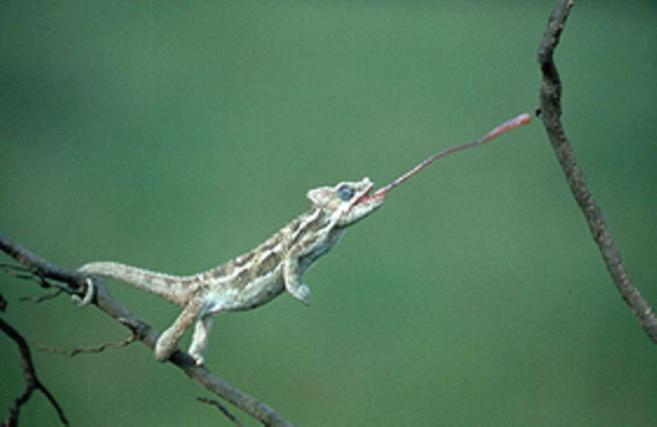 Echsen: Auf der Jagd: Wie ein Lasso lässt das Helm-Chamäleon seine Zunge aus dem Maul schießen. Der Spuk dauert nur eine Zehntelsekunde - kaum eine Fliege hat da eine Chance zu entkommen