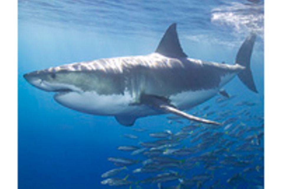 Was Forscher über den Hai wissen