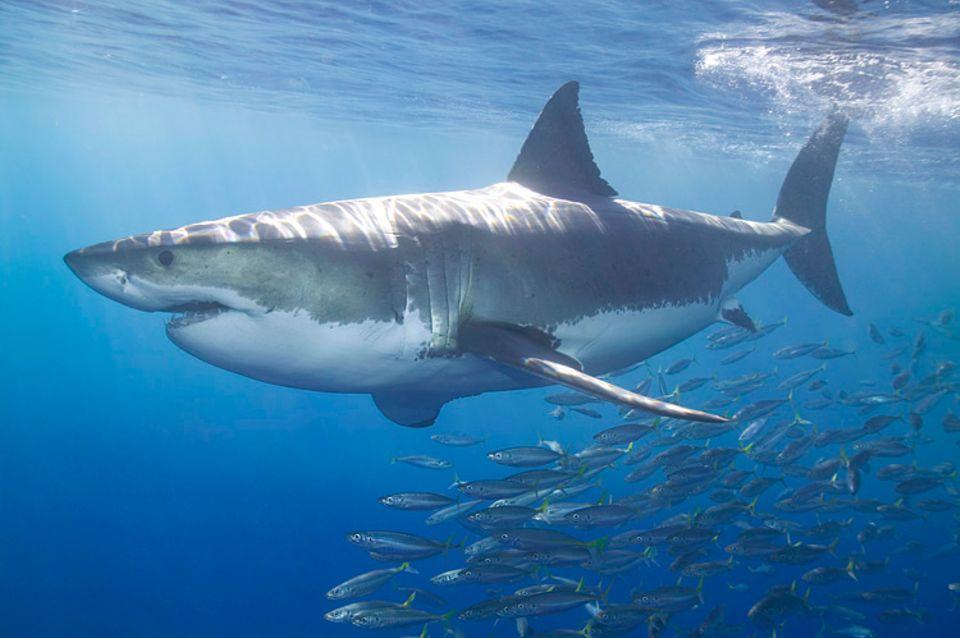 Der Weiße Hai, der größte Raubfisch der Meere, verfügt über ein individuelles Wesen, ist neugierig - und vorsichtig: Er plant die Attacken auf seine Opfer sehr genau, um nicht selbst dabei Schaden zu nehmen