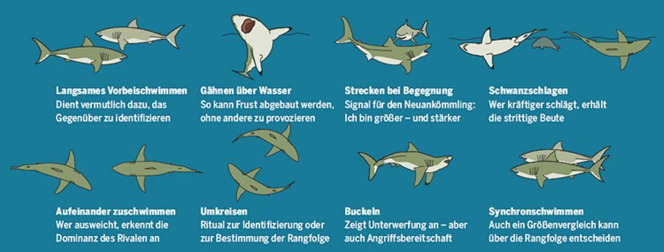 Verständigung durch Körpersprache: Weiße Haie haben spezielle Verhaltensmuster, um Konflikte zu vermeiden oder die Rangordnung festzulegen