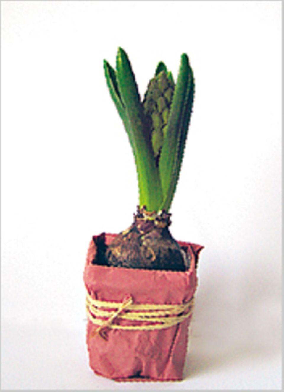 Frühlingsblumen: Meine Hyazinthe: Am 2. Tag sah man nicht viel mehr als fleischige Blätter.