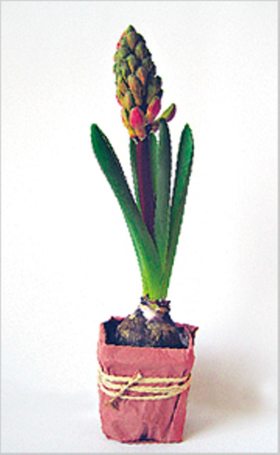 Frühlingsblumen: Am 7. Tag begann ich mich schon neugierig zu fragen: Welche Farbe werden die Blüten wohl haben?