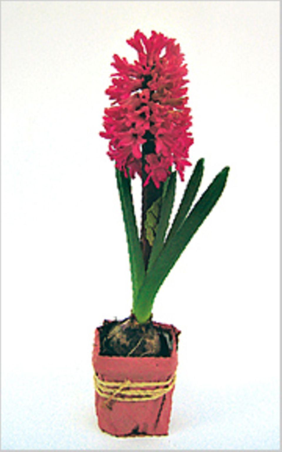 Frühlingsblumen: Die Blume ist in ihrer vollen Pracht erblüht - am 10. Tag
