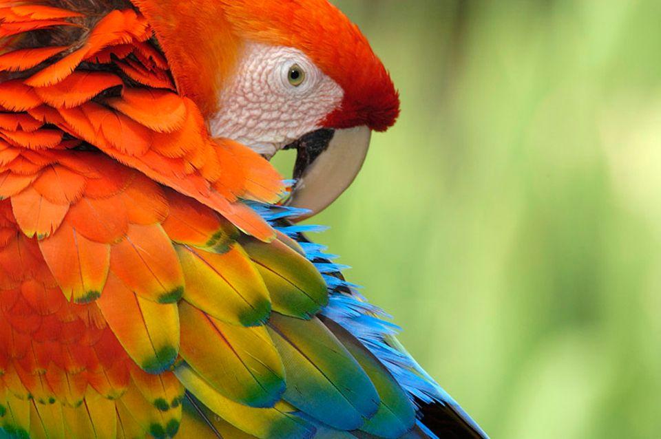 Das Flügelkleid braucht viel Pflege. Darum putzen sich Vögel regelmäßig