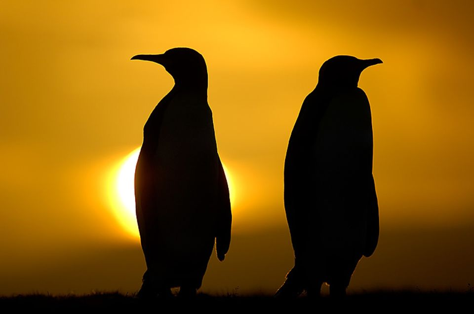 Foto mit Seltenheitswert: Königspinguine im Abendlicht