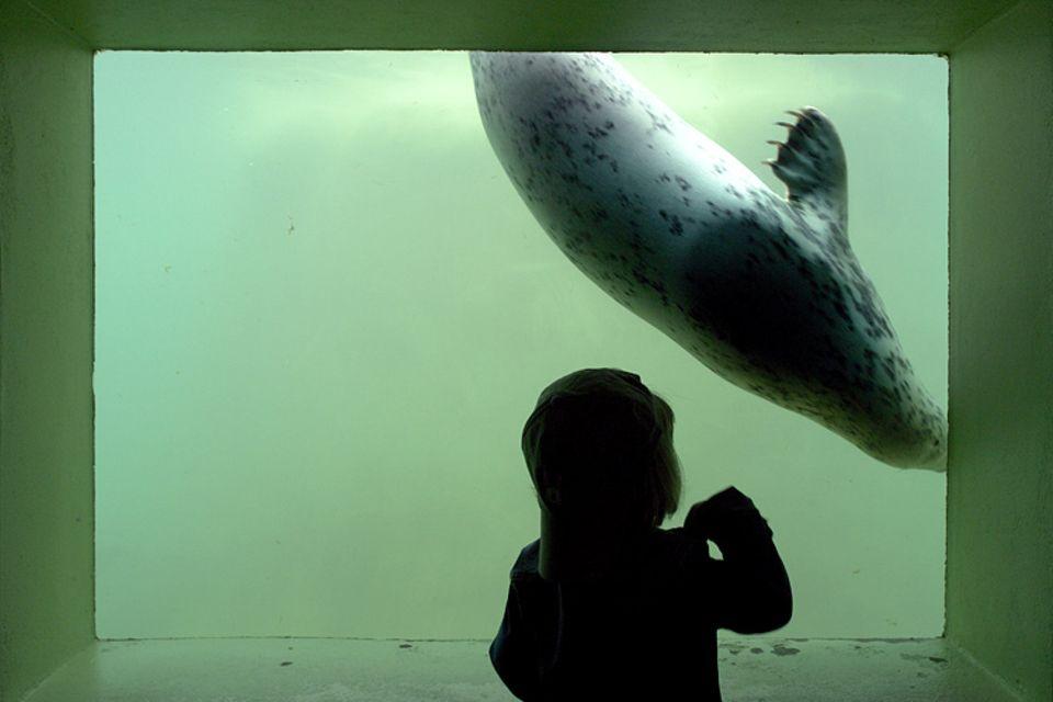 Heuler: In Friedrichskoog kann man den Seehunden hautnah beim Tauchen zusehen
