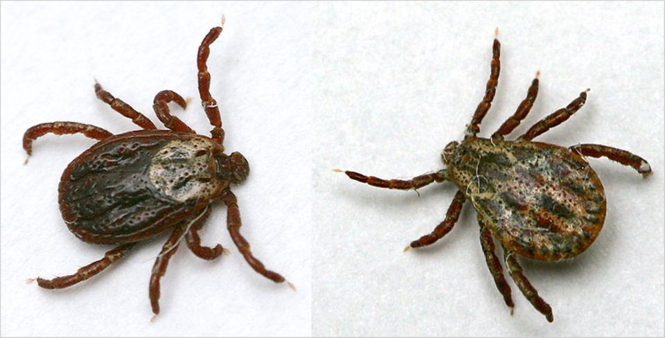 Auwaldzecken (links ein Weibchen, rechts ein Männchen) haben eine auffällige Zeichnung und sind deutlich größer als der Gemeine Holzbock - und damit leicht zu erkennen