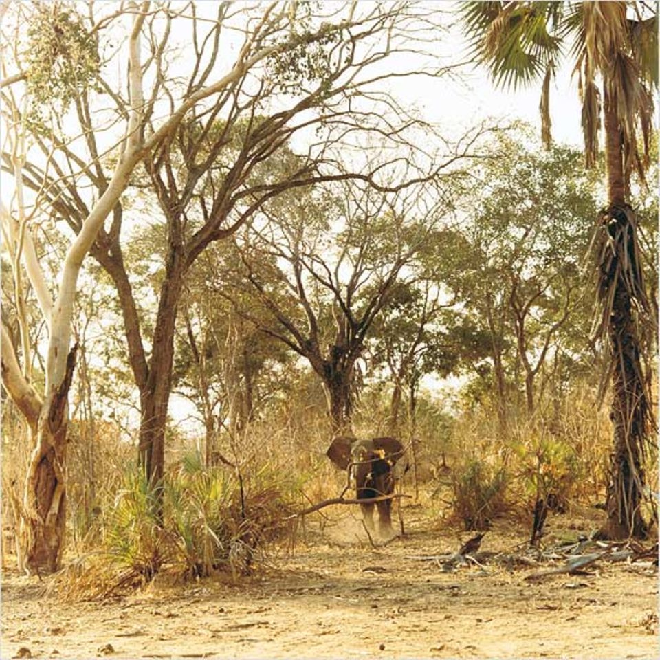 Begegnung in der Wildnis: Ein Elefant beobachtet etwas misstrauisch die Teilnehmer der Safari, die mit dem Auto das Wildschutzgebiet Niassa erkunden