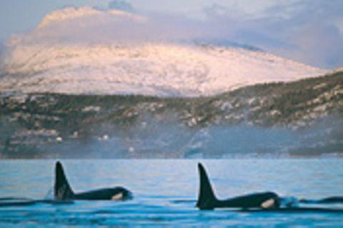 Norwegen: Ein Ohr für die Orcas