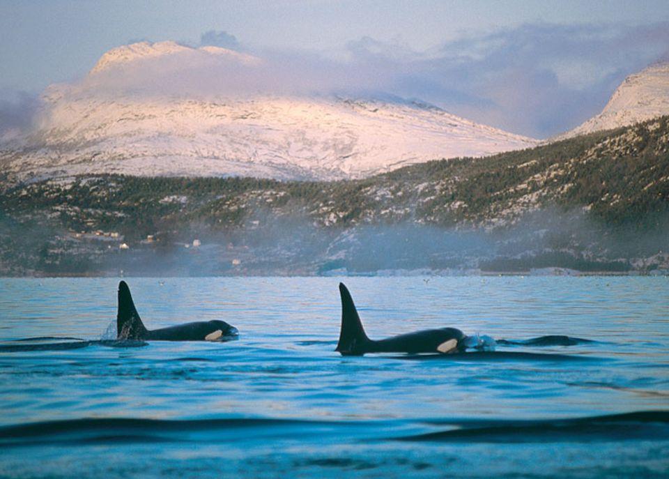 Im Winter folgen hunderte dieser Schwertwale den Heringsschwärmen tief in die Fjorde hinein