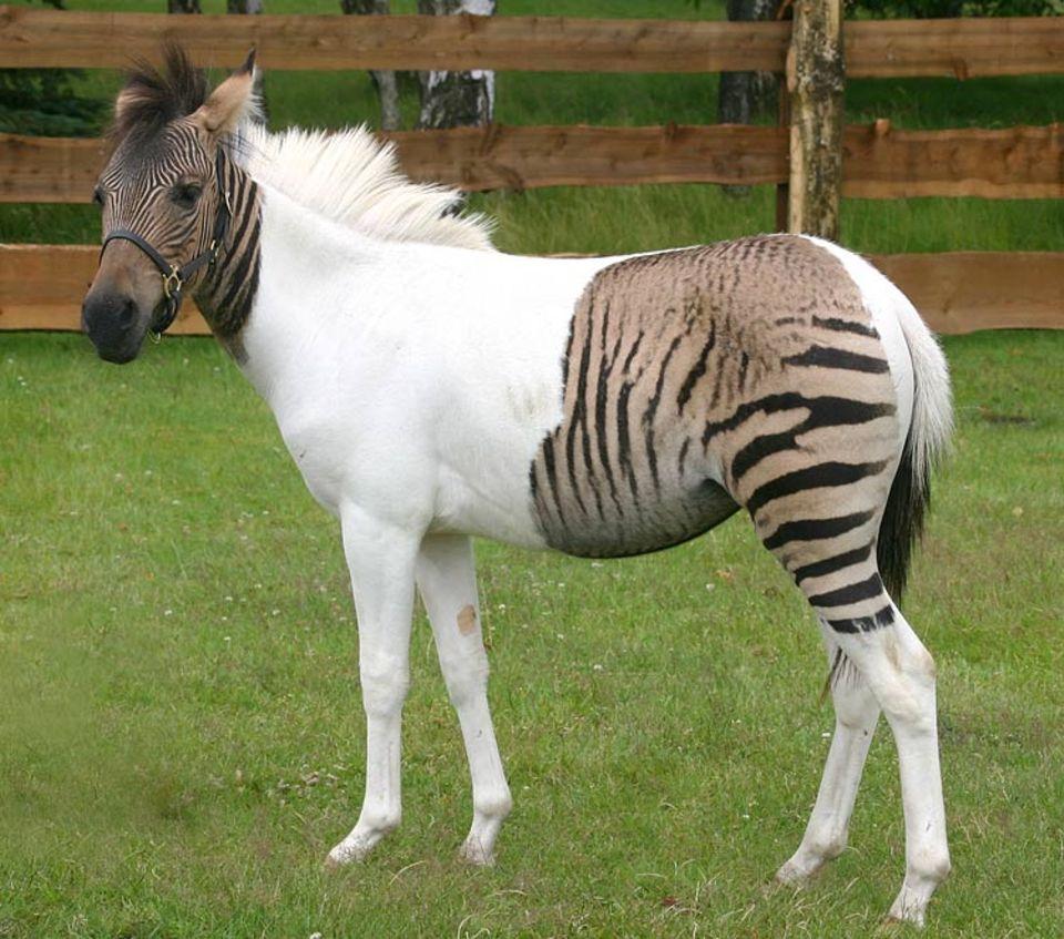 Der Vater ein Pferd, die Mutter ein Zebra - hier das Ergebnis
