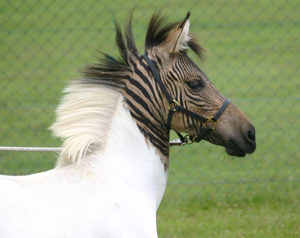 """Eclyse, das wunderschöne, weiße Zebra-Pferdchen mit den beiden großen """"Tigerflecken"""" – seit wenigen Tagen zu Hause im Zoo Safaripark Stukenbrock"""
