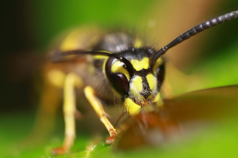 Tiere: Wespen sind sehr scheu und nicht aggressiv