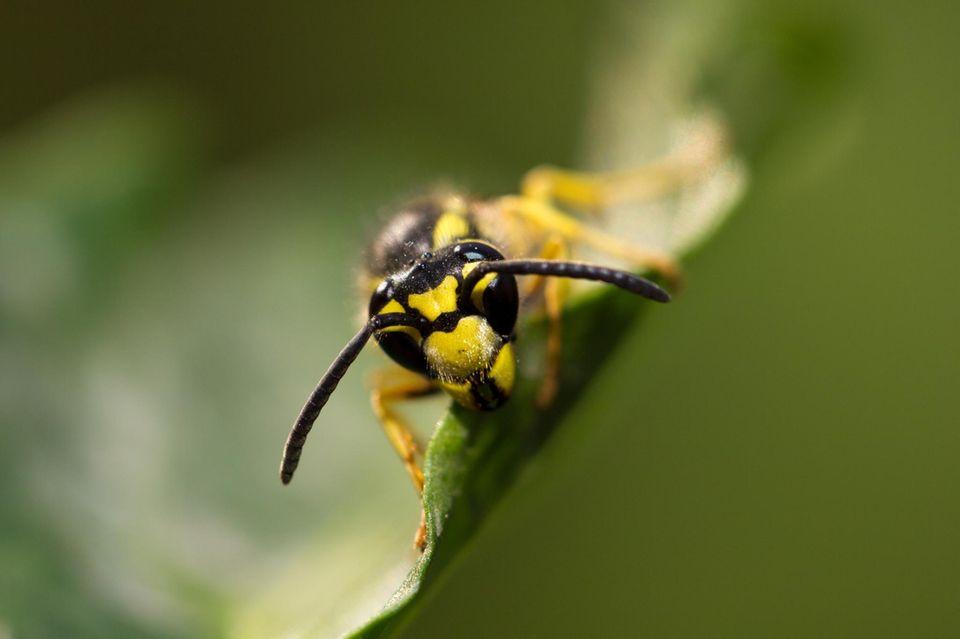 Wespen: In diesem Sommer gibt es besonders viele Wespen