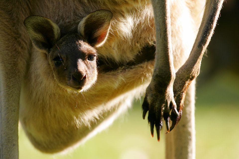 Tiere: Erst nach sechs Monaten steckt das Känguru-Junge seinen Kopf aus dem Beutel der Mutter