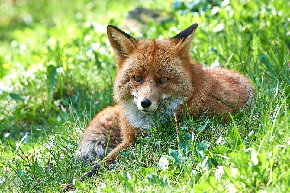 Junger Fuchs auf der Wiese