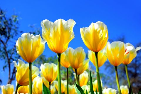 Frühling, Tulpen, Blumen, Wiese, Blumenwiese, gelbe Tulpen, Blüten
