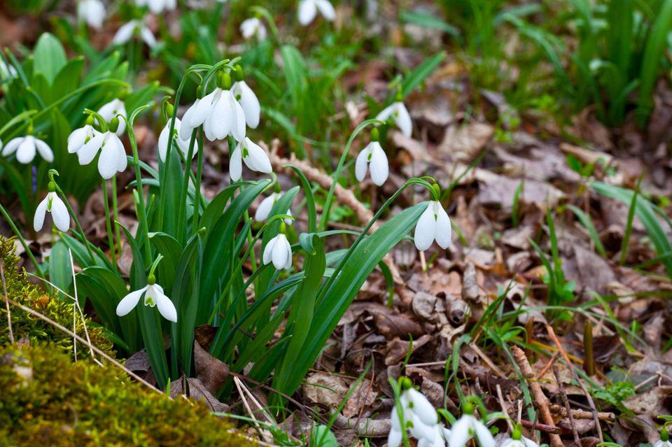 Frühling, Schneeglocken, Schneeglöckchen, Blumen, Wiese