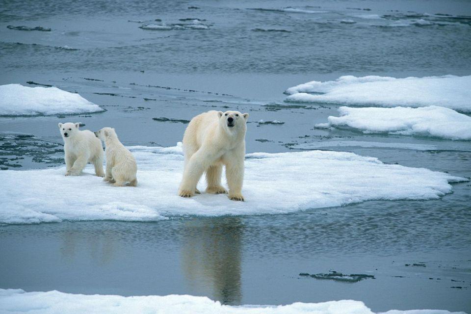 Eisbär am Nordpol