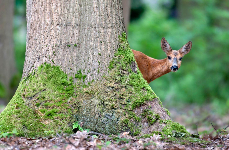 Reh hinter einem Baum