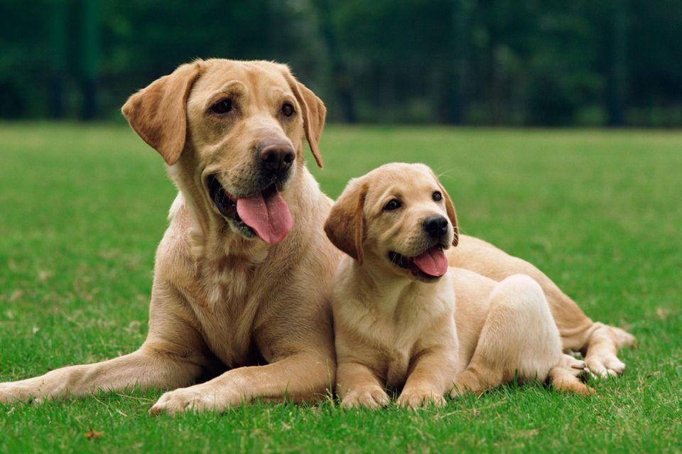 Hunde Goldenretriver
