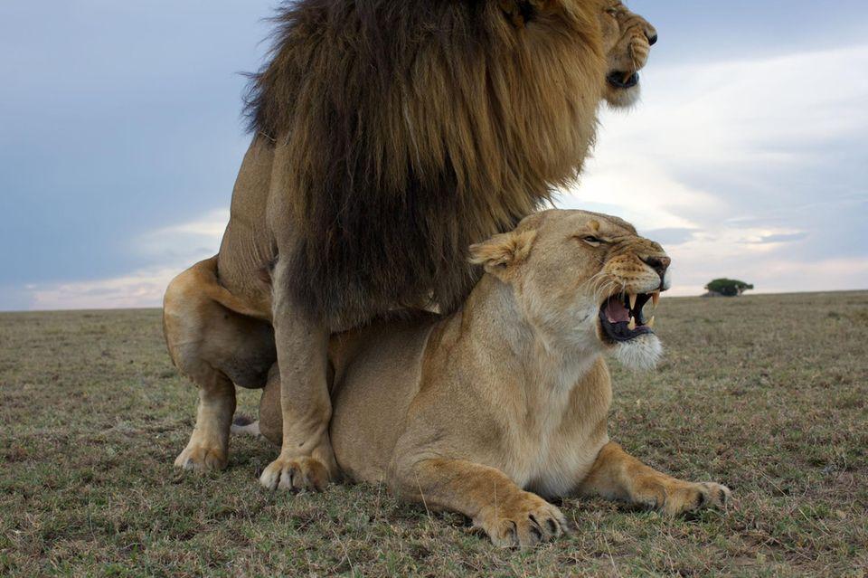 Ungewöhnliche Paarung: Affe besteigt Hirschkuh