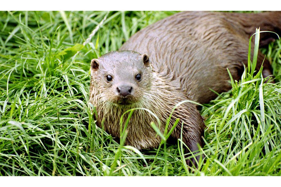 Tiere: Otter: Die Schlingel mit dem weichen Fell
