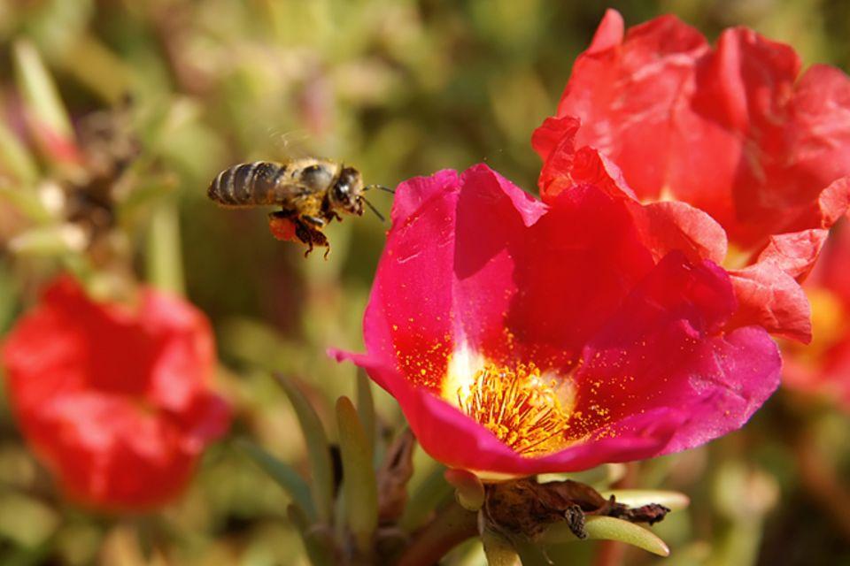 Pollen: Wie Pflanzen mit Düften locken
