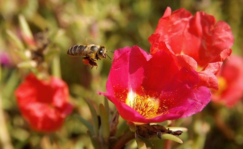 Pollen: Die Pflanzen duften nicht nur für uns Menschen oft verführerisch gut