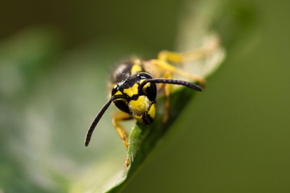 Tiere: Nahaufnahme einer Wespe