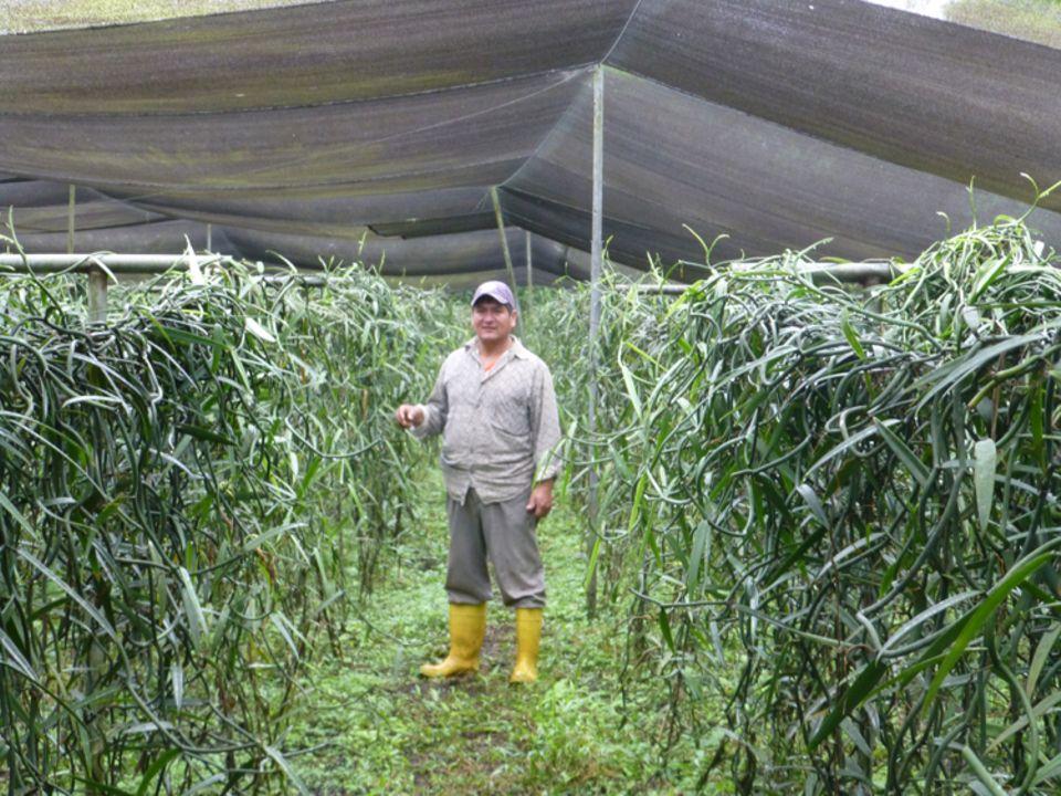 Ecuador: Team-Mitglied mit Vanillepflanzen im Kallari-Gewächshaus beim Projektbesuch von Eva Danulat im Jahr 2016