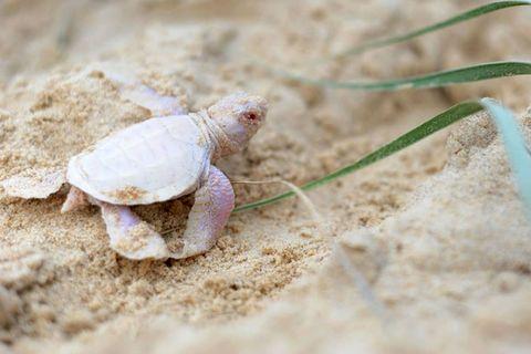 Australien: Extrem seltener Meeresschildkröten-Albino entdeckt