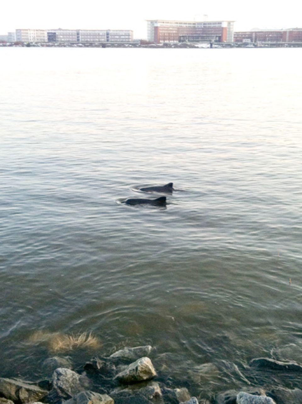 Hamburg: Schweinswale mitten im Hamburger Hafengebiet.