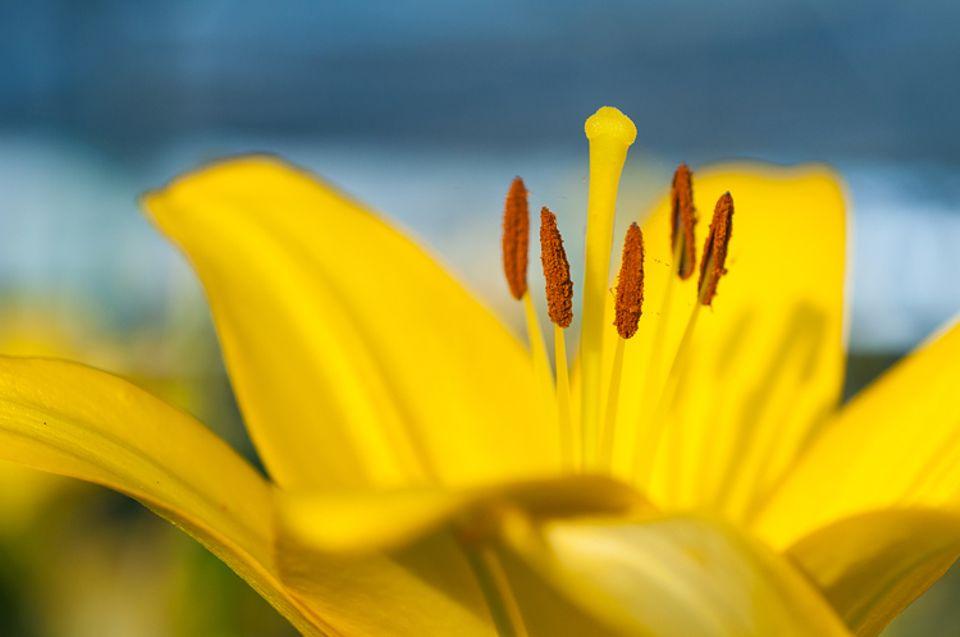 Gib mir fünf: Gräser- und Blütenpollen sind Schuld daran, wenn Allergikern im Frühling und Sommer die Nase und die Augen jucken