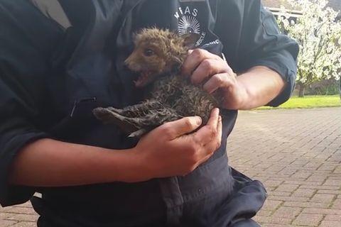England: Fuchsmutter beobachtet die Rettung ihres Welpen