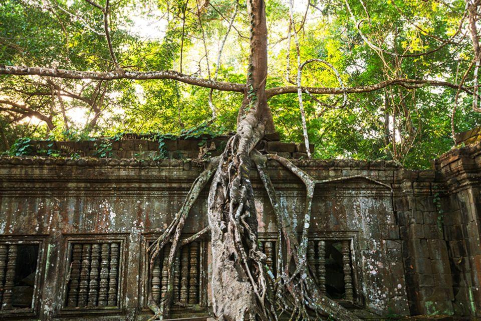 Religion: Nachdem im 15. Jahrhundert die Menschen Angkor verlassen, verschlingt der Urwald die Stadt. Noch heute überwuchern Würgefeigen viele Gebäude, so wie diesen Tempel