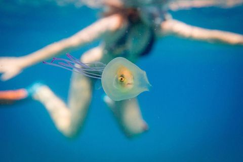 Seltene Aufnahme: Qualle verschluckt Fisch