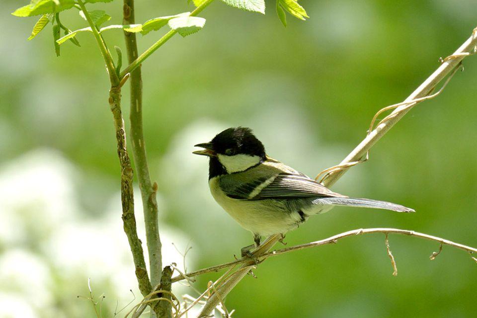 Biologie: Japanmeisen: Vögel unterhalten sich offenbar komplexer als bislang angenommen
