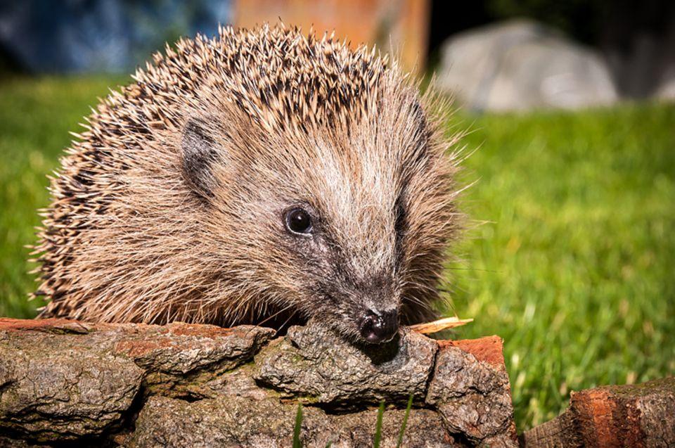 Tiere: Igel gefunden: Ernährung und Haltung