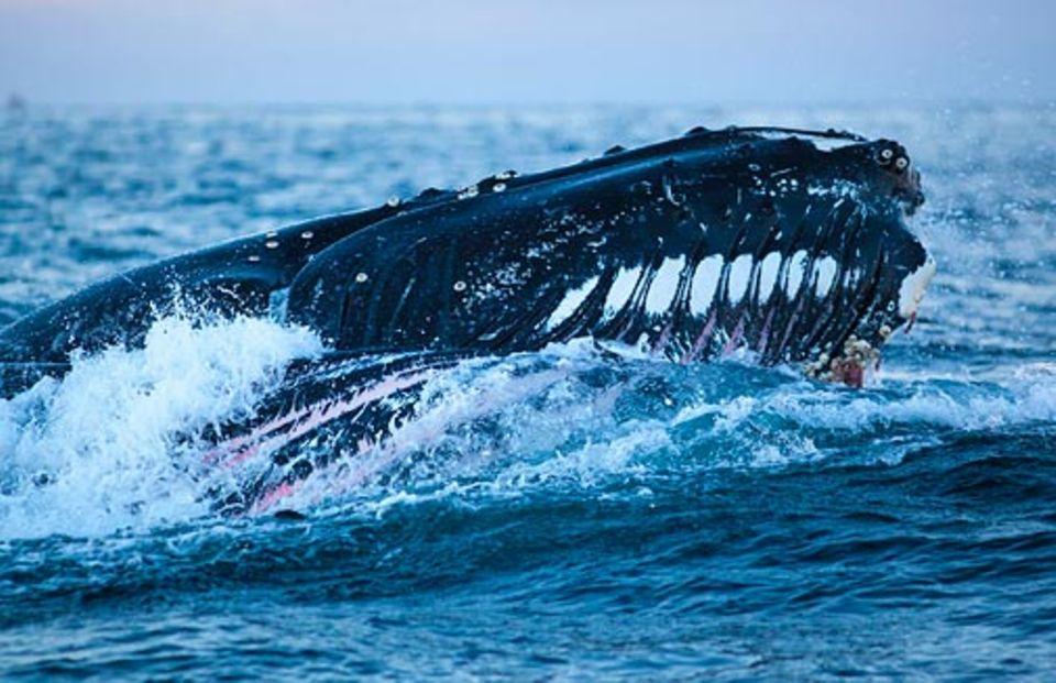 Wale vor Norwegen: Extrem dehnbar: In den Kehlsack eines Buckelwals passen tausende Liter Wasser