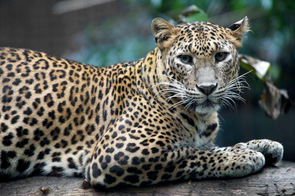 Englische Redewendung: A leopard cannot change its spots