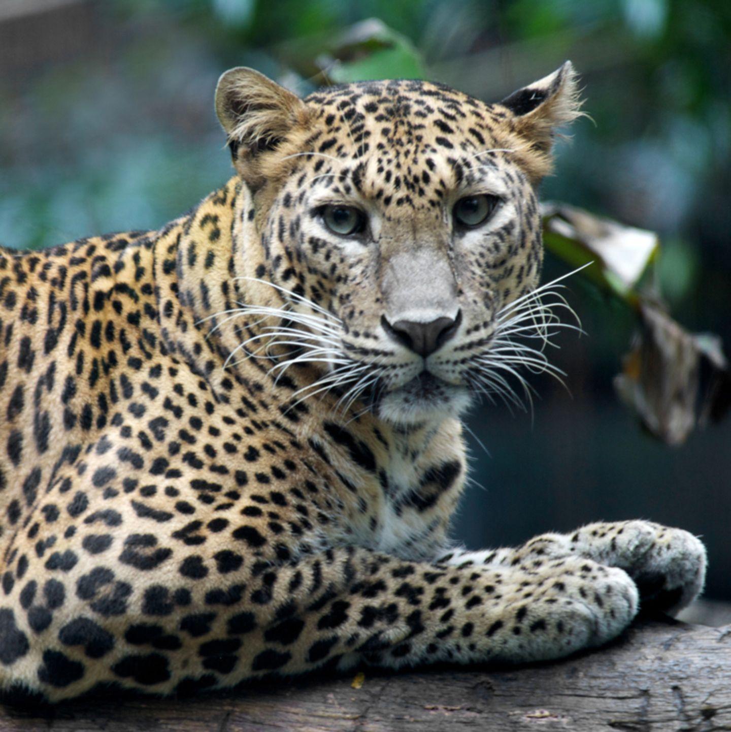 A leopard cannot change its spots   [GEOLINO]