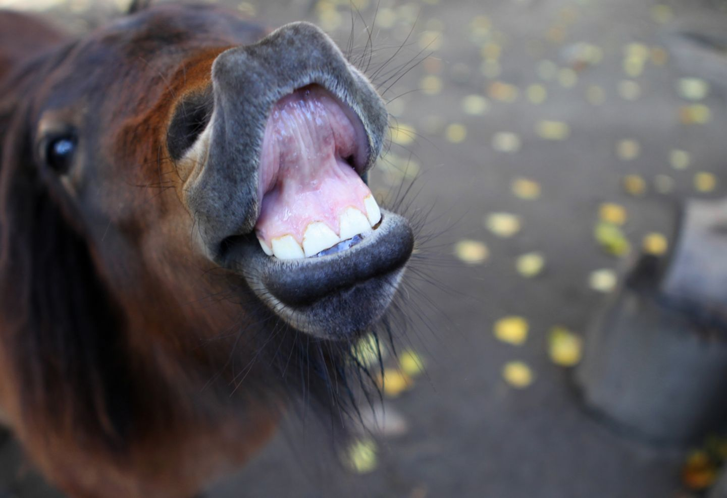 Englische Redewendung: Straight from the horse's mouth