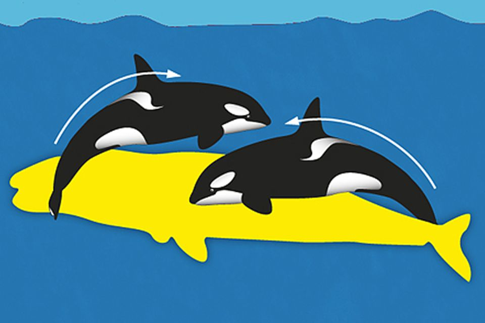 Jagdtechniken der Schwertwale