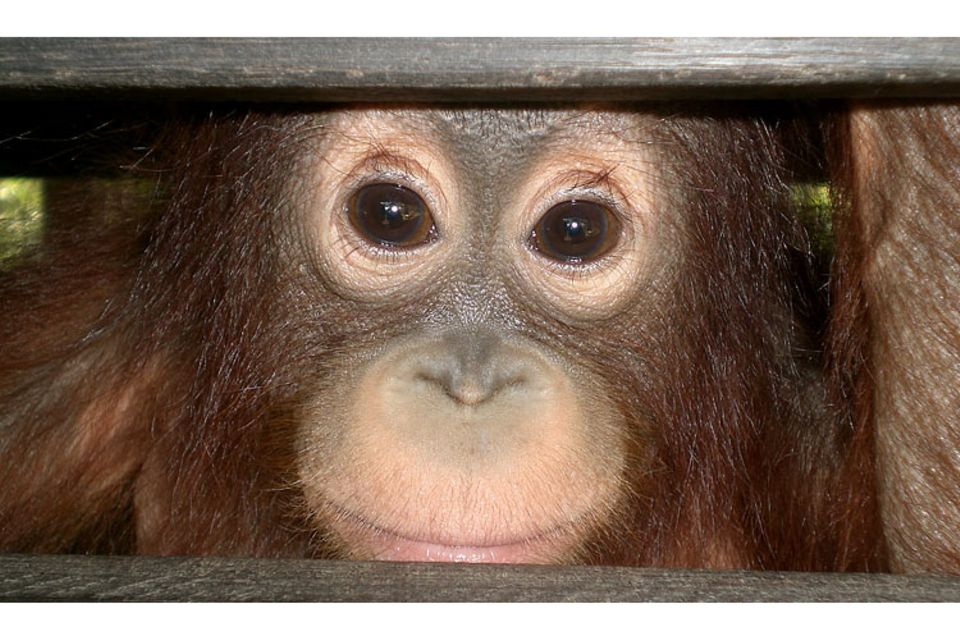 Menschenaffen: Orang-Utans
